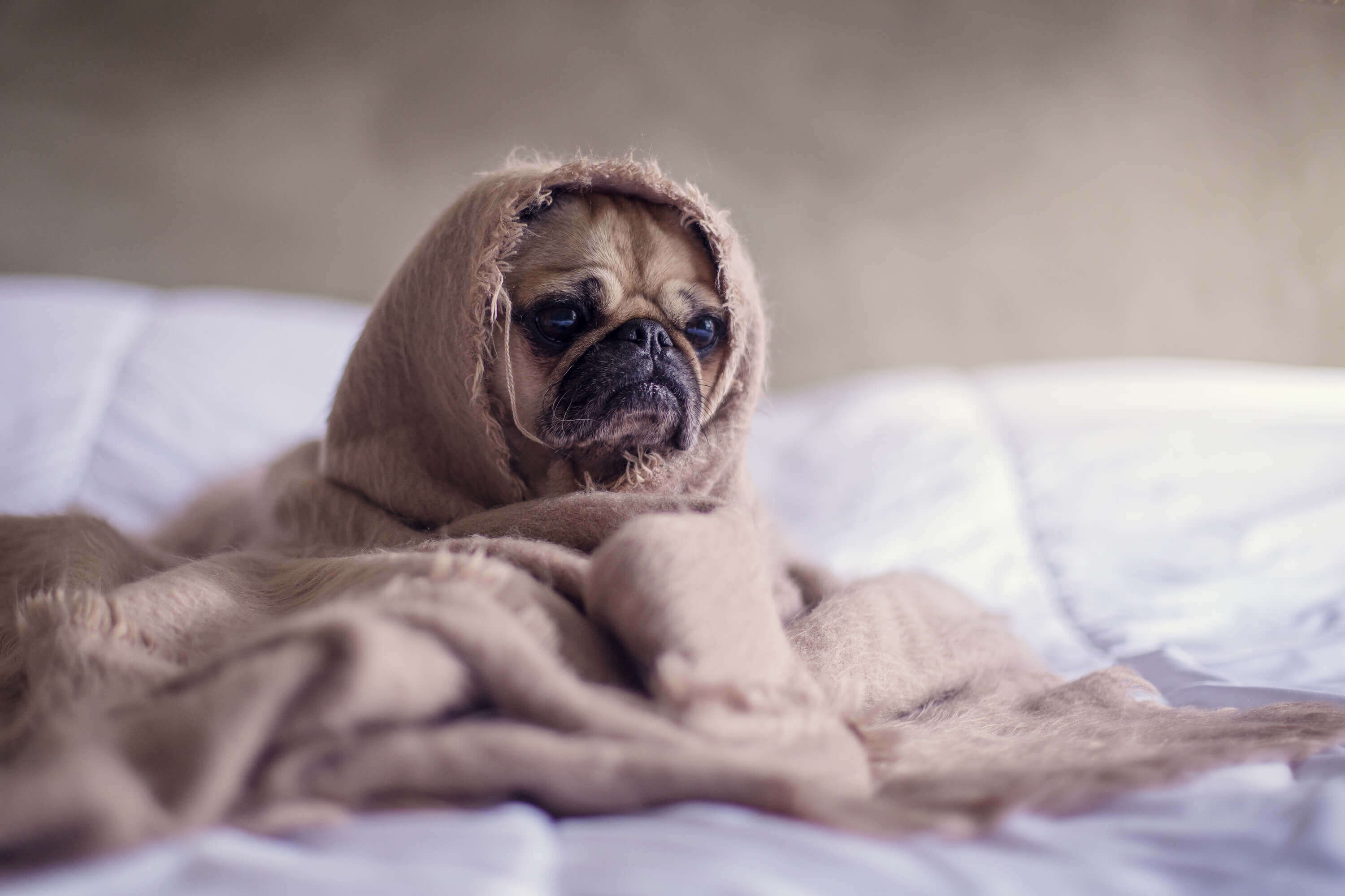 pug wrapped in a blanket on bed