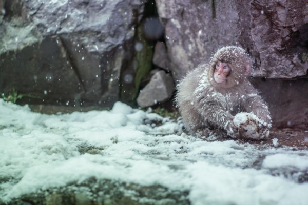 Japanese monkey sitting in snow on mountain